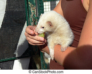 Ferret Eating Grapes In girls arms In Sun