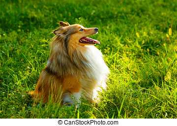 Sheltie dog breed posing outdoors on a green lawn on a sunny...