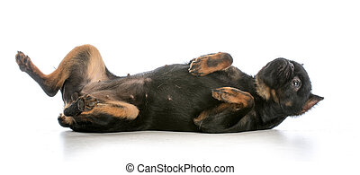 dog rolling over