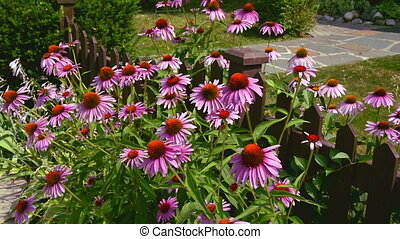 Pink Flowers in Garden - Pinkish Purple flowers along garden...