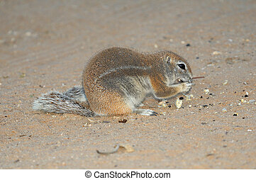 Cape Ground Squirrel eating seeds of a camelthorn tree....