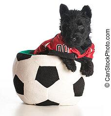 sports hound - scottish terrier puppy wearing sports jersey...