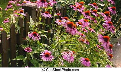 Pink Flowers in Garden - Pinkish Purple flowers along garden...
