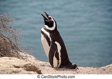 Magellanic penguin in Patagonia