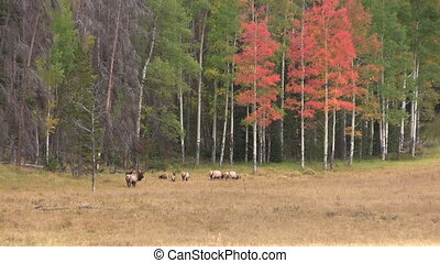 Elk Herd in Fall Rut - an elk herd in a scenic landscape...