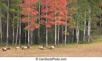 Elk Herd in Fall Rut