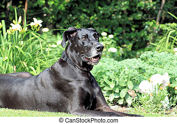 Great Dane Portrait - A portrait of a black Great Dane in...