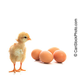 new born chick and eggs on white use for new beginning...
