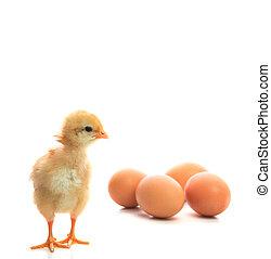 nowy, urodzony, kurczątko, i, jaja, Na, biały, korzystać,...