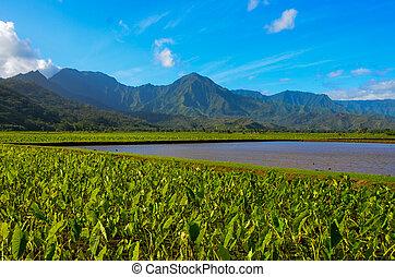 Hanalei Taro Fields - Taro Fields of Hanalei Kauai