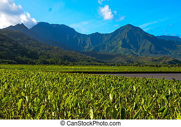 Hanalei taro plants - The Hanalei taro fields on the Island...