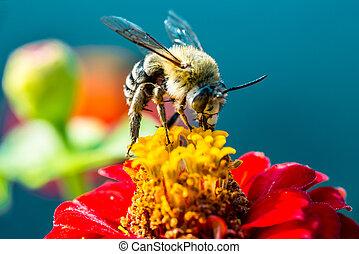 abeja, Cobrar, néctar, De, Un, rojo, flor,