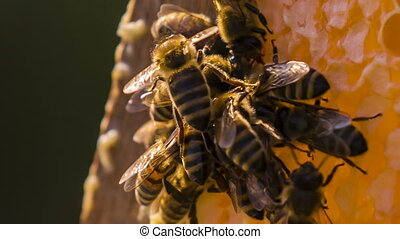 Bees Eating Honey. Macro