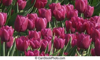 purple tulips - full screen - purple tulips in field -...