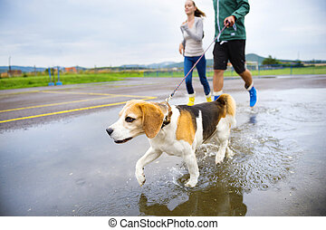 Young couple walk dog in rain Detail of beagle dog splashing...