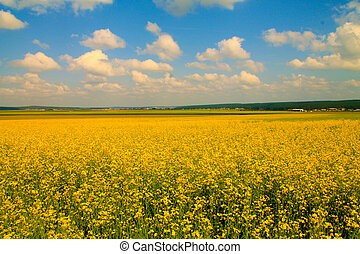 Field of mustard flowers