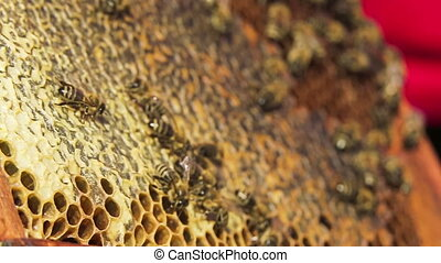 Honeycomb: Bees Eating Honey. Slow motion - Close-up shot of...