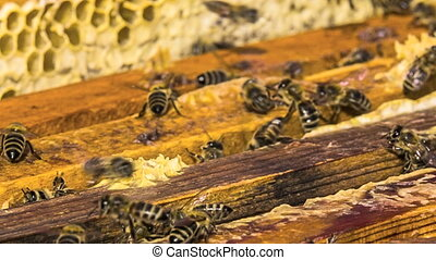 Open Hive With Bees - Shot of open hive, a honeycomb is...