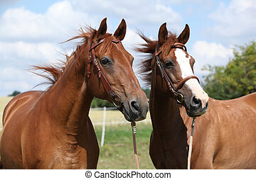 Two chestnut horses standing together in summer