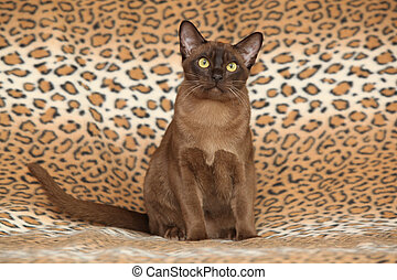 Beautiful Burmese cat in front of some blanket - Beautiful...