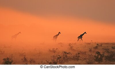 Giraffe Golden Dust - Africa - Giraffe silhouettes walk out...