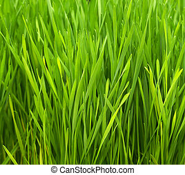 Wheatgrass - Freshly grown organic Wheatgrass ready to juice