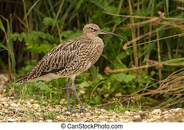 Curlew wading bird - Curlew, Numenius arquata Seen in...