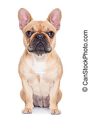 fawn french bulldog sitting and resting on white isolated...