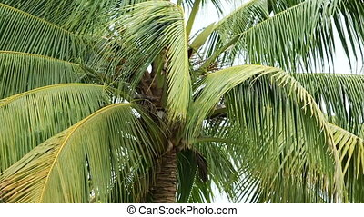 coconut tree - zooming out form top of coconut plany