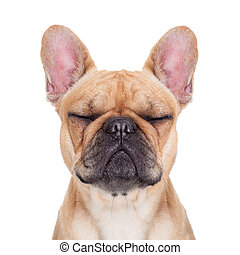 fawn french bulldog with closed eyes sitting and resting on...