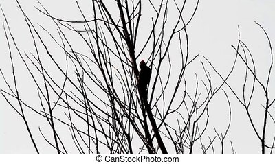 Woodpecker silhouette - Woodpecker Silhouette against an...