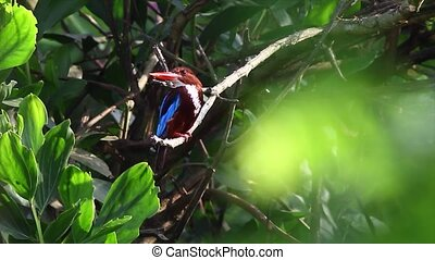 white throated kingfisher 2 - kingfisher and its natural...