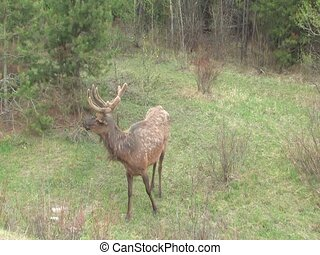 Elk - Shedding Elk with velvet antlers grazing on first...