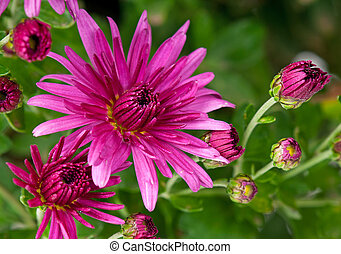 Magenta chrysanthemum - Bright magenta chrysanthemum over...