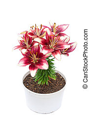 white and purple lily flowers in the pot isolated image