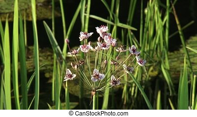flowering rush, grass rush butomus umbellatus is native to...
