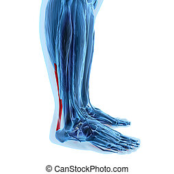 achilles tendon with lower leg muscles - 3d rendering of...