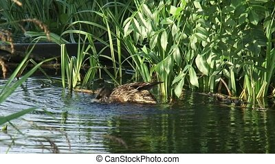 Wild Duck female grooming plumage in pond - Wild Duck female...