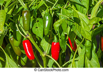 Jalapeno hot peppers on bush - Ripe hot Jalapeno peppers on...