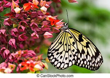 Paper kite butterfly - Tropical Paper kite or Sunburst Rice...