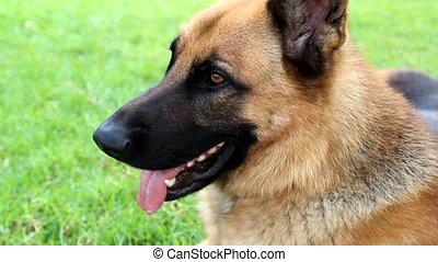 German Shepherd - Close up of German Shepherd Panting