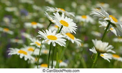 daisies on a meadow - shot with shallow DOF - daisies on a...