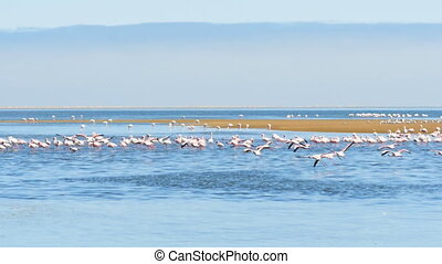 flamingos flying slow motion - flock of pink flamingos...