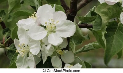 Apple tree white flowers closeup - Video 1080p - Apple tree...