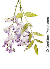 Wisteria flowers and foliage isolated against white