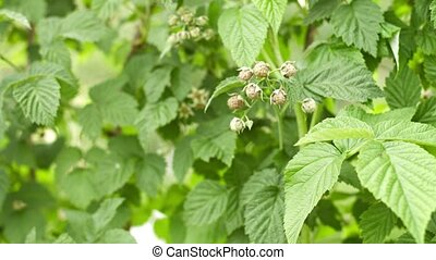 Unripe raspberries on the bushes in the garden - Video UHD -...