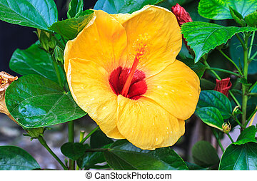 Hibiscus flowers are a genus of flowering plants in the...