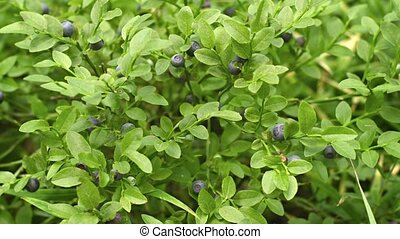 Bush of blueberries closeup - Video 1080p - Bush of...