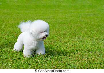 bichon frise on a green grass outdoors