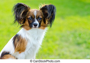 papillon on a green grass outdoors
